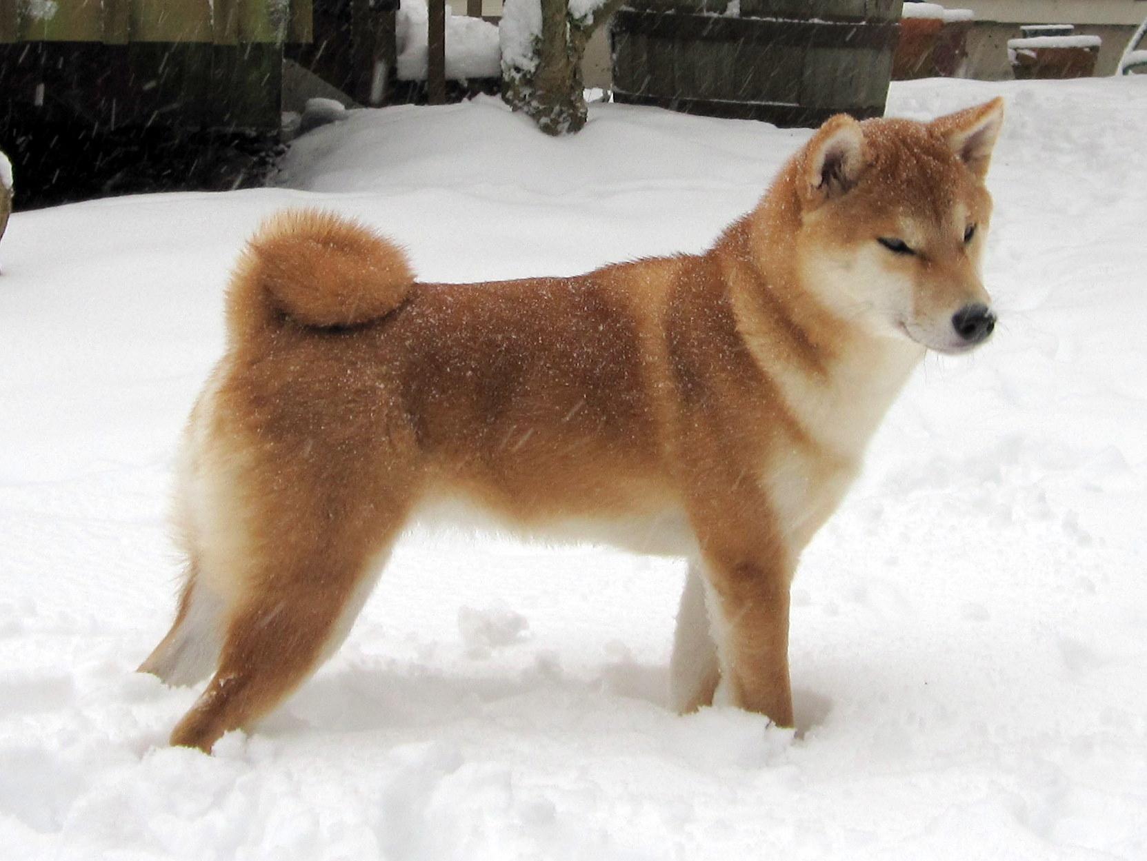 Available Puppies Hokusei Kashinoki Shiba And Hokkaido Ken 北西樫ノ木