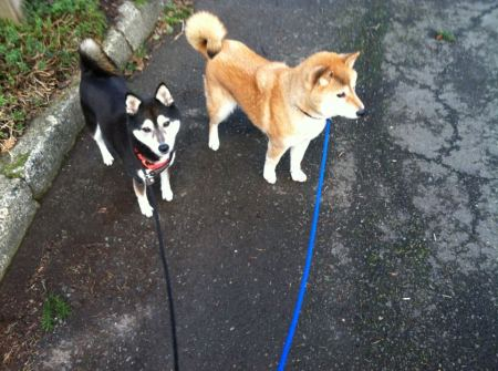 Rainey and Bria are available for adoption via Northwest Shibas 4 Life Rescue